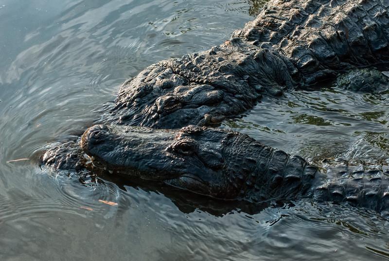 NAc904 American Alligator (Alligator mississippiensis), Gatorland, FL
