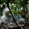 NAb6584 Great Egret (Ardea alba) Chicks, Gatorland, FL
