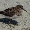 NAb5289  Least Sandpiper (Calidris minutilla), Ft DeSoto State Park, FL