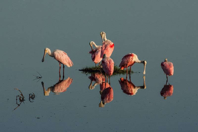 NAb5027 Roseate Spoonbills (Platalea ajaja) Preening, Merritt Island NWR, FL