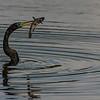 NAb4823 Anhinga (Anhinga anhinga) with Fish, Circle B Bar Reserve, Fl