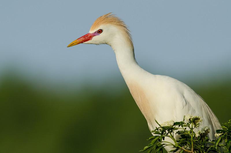 NAb6367 NAb6559 Cattle Egret (Bubulcus ibis), Breeding Plumage, Gatorland, FL
