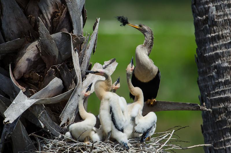 NAb5559 Anhinga (Anhinga anhinga), Nest & Chicks, Viera Wetlands, FL
