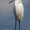 NAb6074 Snowy Egret (Egretta thula), Circle B Bar Reserve, FL