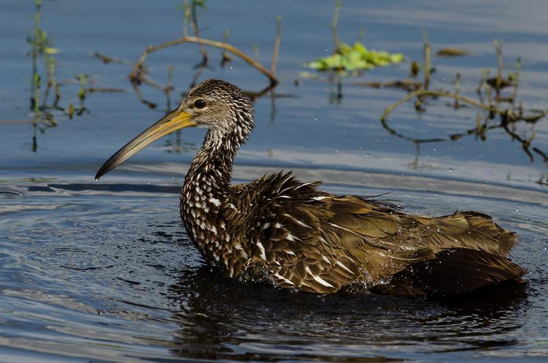 NAb4901 Limpkin (Aramus guarauna) Bathing, Circle B Bar Reserve, FL