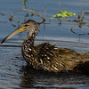 NAb4901 Limpkin (Aramus guarauna) Bathing, Circle B Bar Reserve, FL