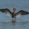 NAb5209 Reddish Egret (Egretta rufescens), Merritt Island NWR, FL