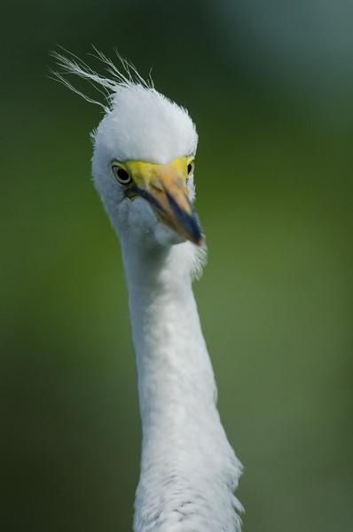 NAb6466 Great Egret (Ardea alba) Chick, Gatorland, FL