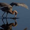 NAb5129 Reddish Egret (Egretta rufescens) Fishing, Merritt Island NWR, FL