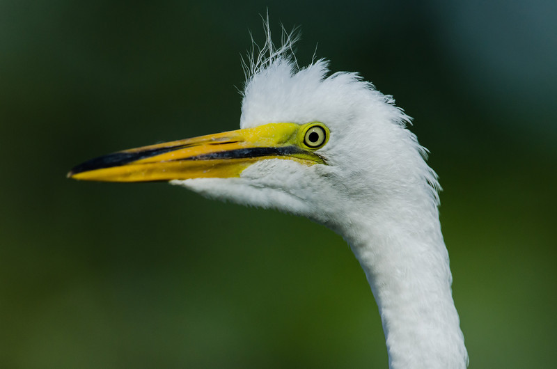 NAb6463 Great Egret (Ardea alba) Chick, Gatorland, FL