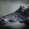 NAc914 American Alligator (Alligator mississippiensis),  Gatorland, FL