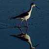 NAb5723 Black-necked Stilt (Himantopus mexicanus), Merritt Island NWR, FL