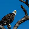 NAb4982 Bald Eagle (Haliaeetus leucocephalus), Merritt Island NWR, FL