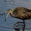 NAb4896 Limpkin (Aramus guarauna), Circle B Bar Reserve, FL