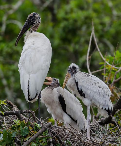 NAb6519 Wood Stork (Mycteria americana) Chicks, Gatorland, FL