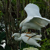 NAb6489 Snowy Egrets (Egretta thula) Mating, Gatorland, FL