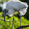 NAb5992 Wood Stork (Mycteria americana) Chick, Gatorland, FL