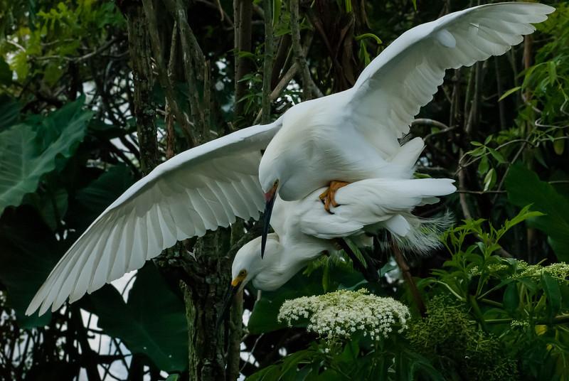 NAb6499 Snowy Egrets (Egretta thula) Mating, Gatorland, FL