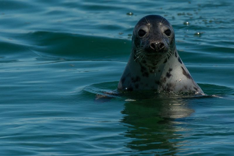 Grey Seal (Halichoerus grypus), Monomoy Island, Chatham, MA