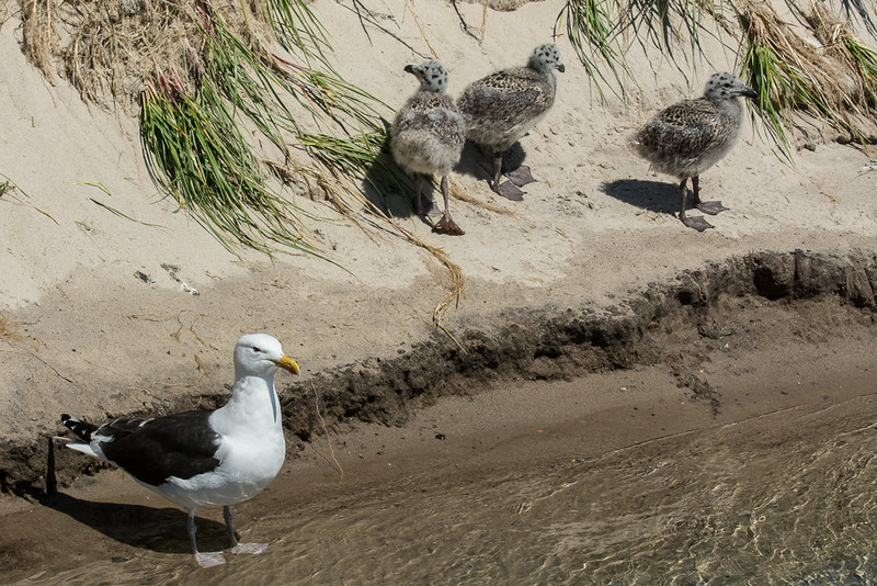Great Black-backed Gull (Larus marinus) with Chicks, Monomoy Island, Chatham, MA