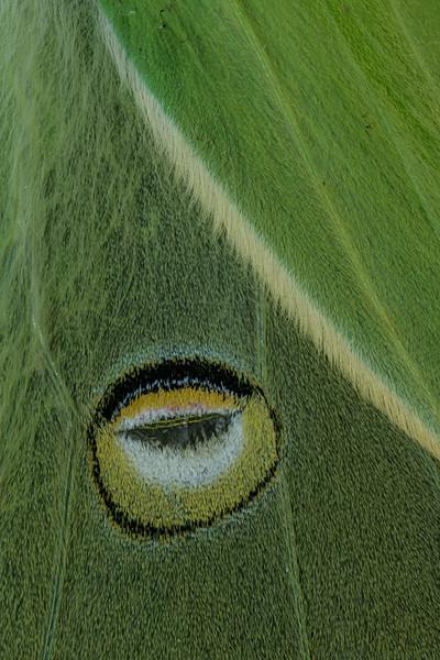 Luna Moth (Actias luna) False Eye, Camden, ME