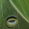 Luna Moth (Actias luna) False Eye, Camden, ME