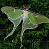 Luna Moth (Actias luna), Camden, ME