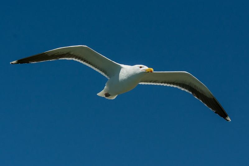 Great Black-backed Gull (Larus marinus), Monomoy Island, Chatham, MA