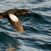 Black Guillemot (Cepphus grylle) with Red Eel, Eastern Egg Rock, New Harbor, ME