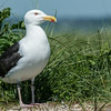 Great Black-backed Gull (Larus marinus), Monomoy Island, Chatham, MA