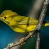 Yellow Warbler (Setophaga petechial), Camden, ME