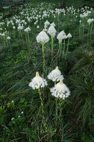 NBa665 - Bear Grass (Xerophyllum tenax), Glacier NP, Montana