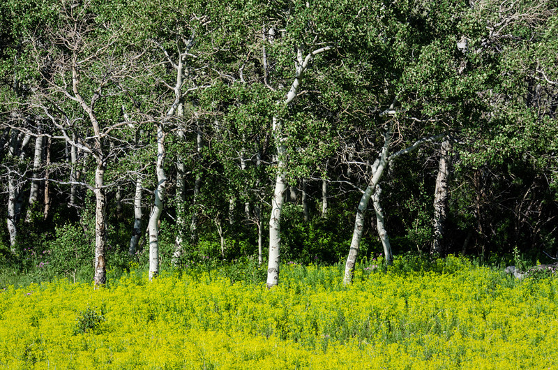 WAa1015 - Quaking Aspens (Populus tremuloides) and Goldenrod (Solidago sp), Glacier NP, Montana