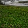 WAa1367 - Yellow Glacier Lily (Erythronium grandiflorum), Logan Pass, Glacier NP, Montana