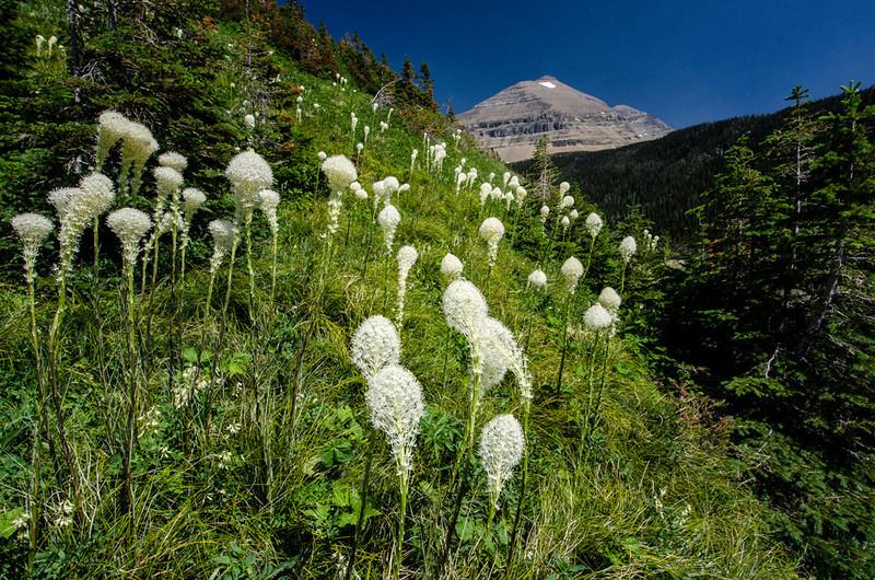 WAa929 - Bear Grass (Xerophyllum tenax), Glacier NP, Montana