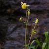 NBa959 - Yellow Columbine (Aquilegia Flavescens), Glacier NP, Montana