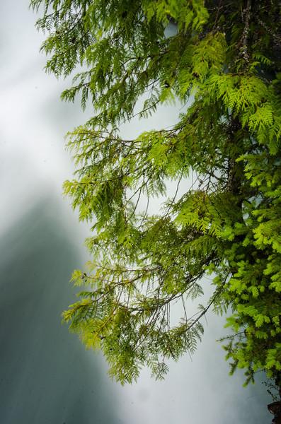 WAa1307 - Cedar Tree on McDonald Creek, Glacier NP, Montana