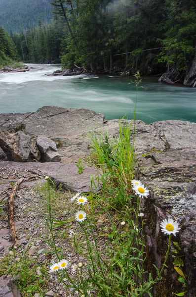 WAa1103 - Oxeye Daisy (Leucanthemum vulgare) and McDonald Creek, Glacier NP, Montana