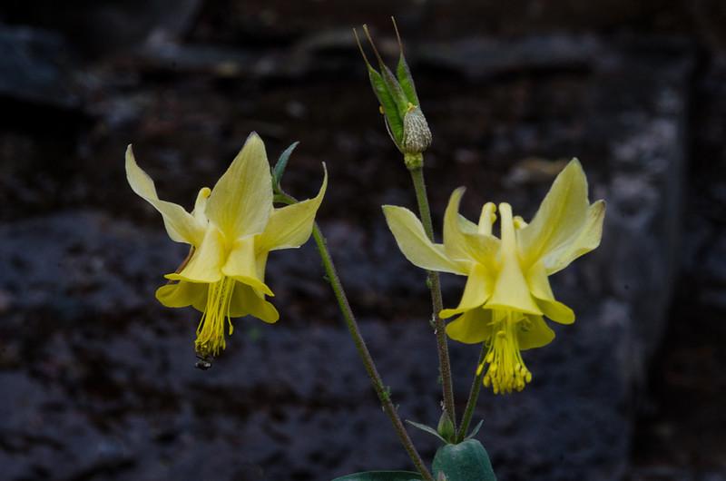 NBa998 - Yellow Columbine (Aquilegia Flavescens), Glacier NP, Montana