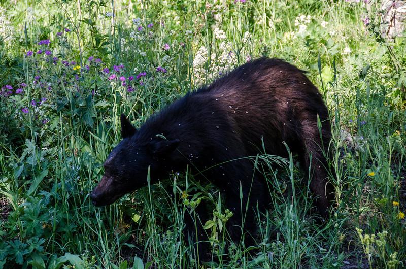 NAa229 - American Black Bear (Ursus americanus), Glacier NP, Montana