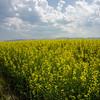 WAa360 - Rapeseed (Brassica napus), Columbia Falls, Montana