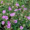 NBa924 - Sticky Geranium (Geranium viscosissimum), Glacier NP, Montana