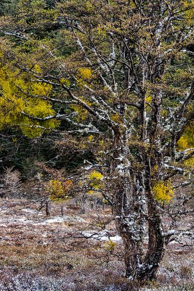 WAb813 sub-Antarctic Southern Beech (Nothofagus) Forest, Alberto De Agostini NP, Almirantazgo Bay, Patagonia, Chile