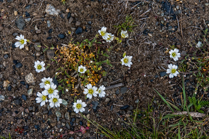NBa1579 Field Chickweed (Cerastium arvense), Torres del Paine NP, Chile