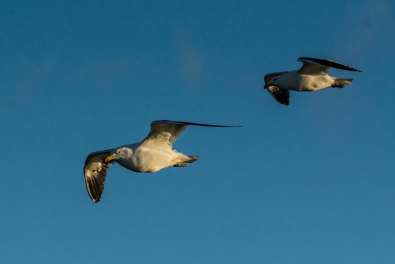 NAb7680 Kelp Gulls (Larus dominicanus), Straight of Magellan, Chile