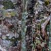 WAb8285 Crustos sp. Lichens, sub-Antarctic Southern Beech (Nothofagus) Forest, Alberto De Agostini NP, Almirantazgo Bay, Chile