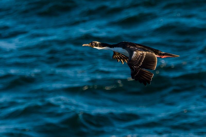NAb7749  Imperial Shag Phalacrocorax atriceps; Punta Arenas, Chile