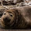 NAa838 Southern Elephant Seal (Mirounga leonina), Almirantazgo Bay, Chile
