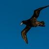 NAb7762 Southern Giant Petrel (Macronectes giganteus), Straight of Magellan, Chile