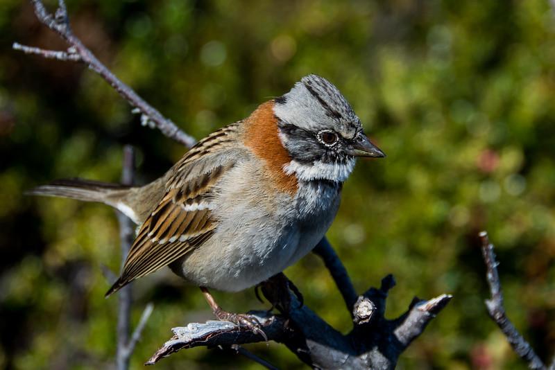 NAb7856 Rufous-collared Sparrow (Zonotrichia capensis), Los Glaciares NP, Santa Cruz, Argentina